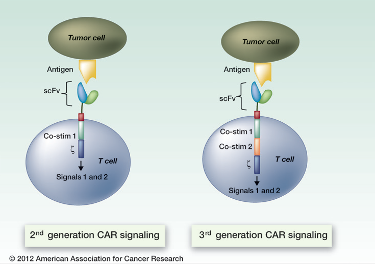 Illustration of the components of second- and third-generation chimeric antigen receptor T cells. (Adapted by permission from the American Association for Cancer Research:  Lee, DW et al. The Future Is Now: Chimeric Antigen Receptors as New Targeted Therapies for Childhood Cancer. Clin Cancer Res; 2012;18(10); 2780–90. doi:10.1158/1078-0432.CCR-11-1920)