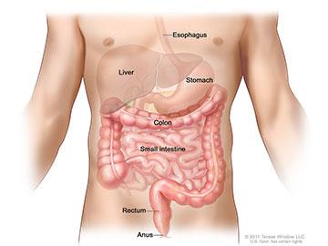 Anatomy of the lower digestive system, showing the colon and other organs.