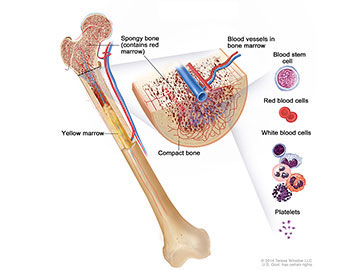 Anatomy of the bone; drawing shows spongy bone, red marrow, and yellow marrow. A cross section of the bone shows compact bone and blood vessels in the bone marrow. Also shown are red blood cells, white blood cells, platelets, and a blood stem cell.
