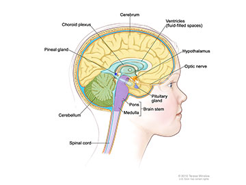 Anatomy of the inside of the brain, showing the pineal and pituitary glands, optic nerve, ventricles (with cerebrospinal fluid shown in blue), and other parts of the brain.