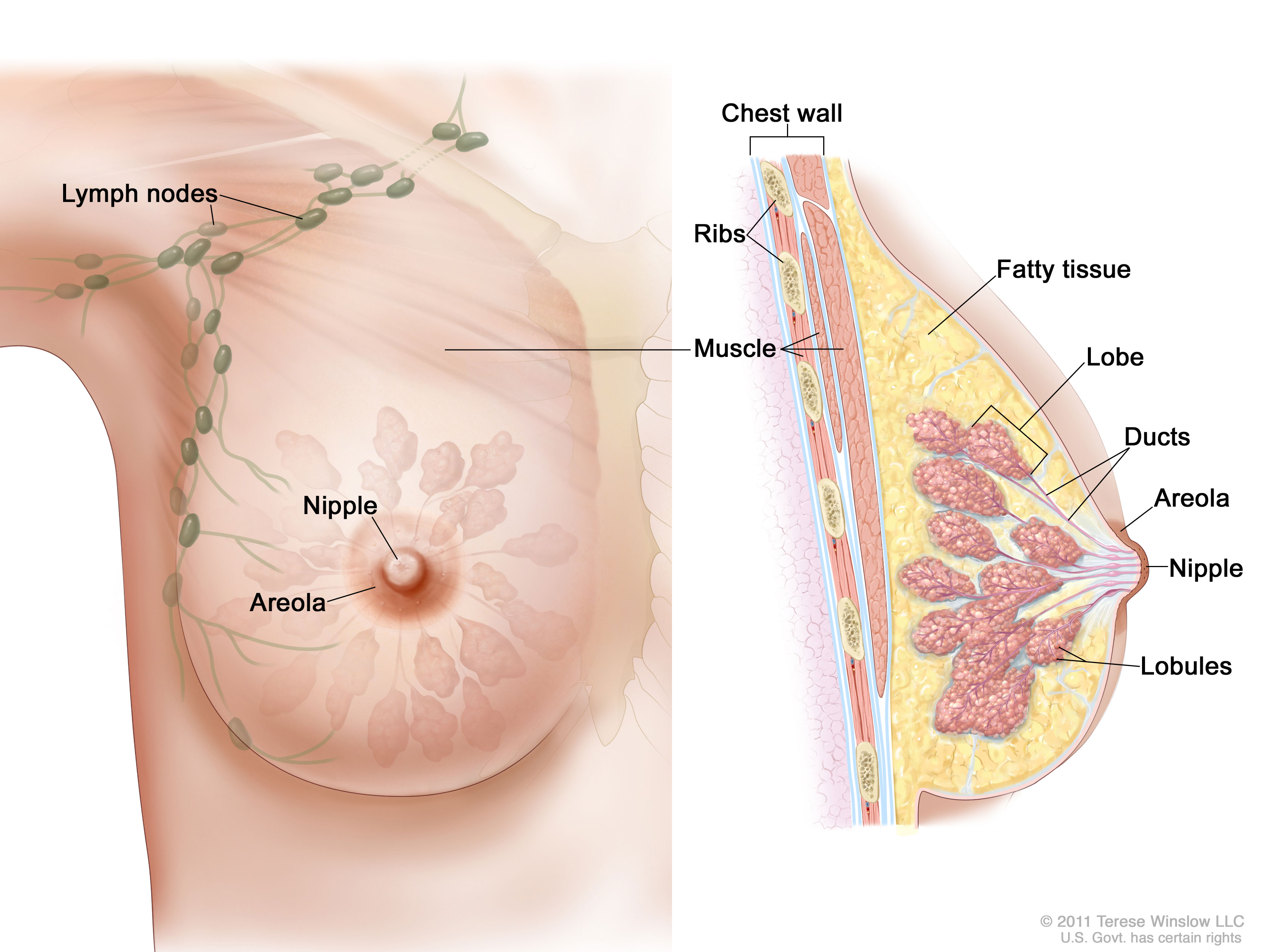 Breast Images of the breast are shown