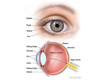 Anatomy of the eye, showing the outside and inside of the eye including the eyelid, pupil, sclera, iris, cornea, lens, ciliary body, retina, choroid, vitreous humor, and optic nerve.