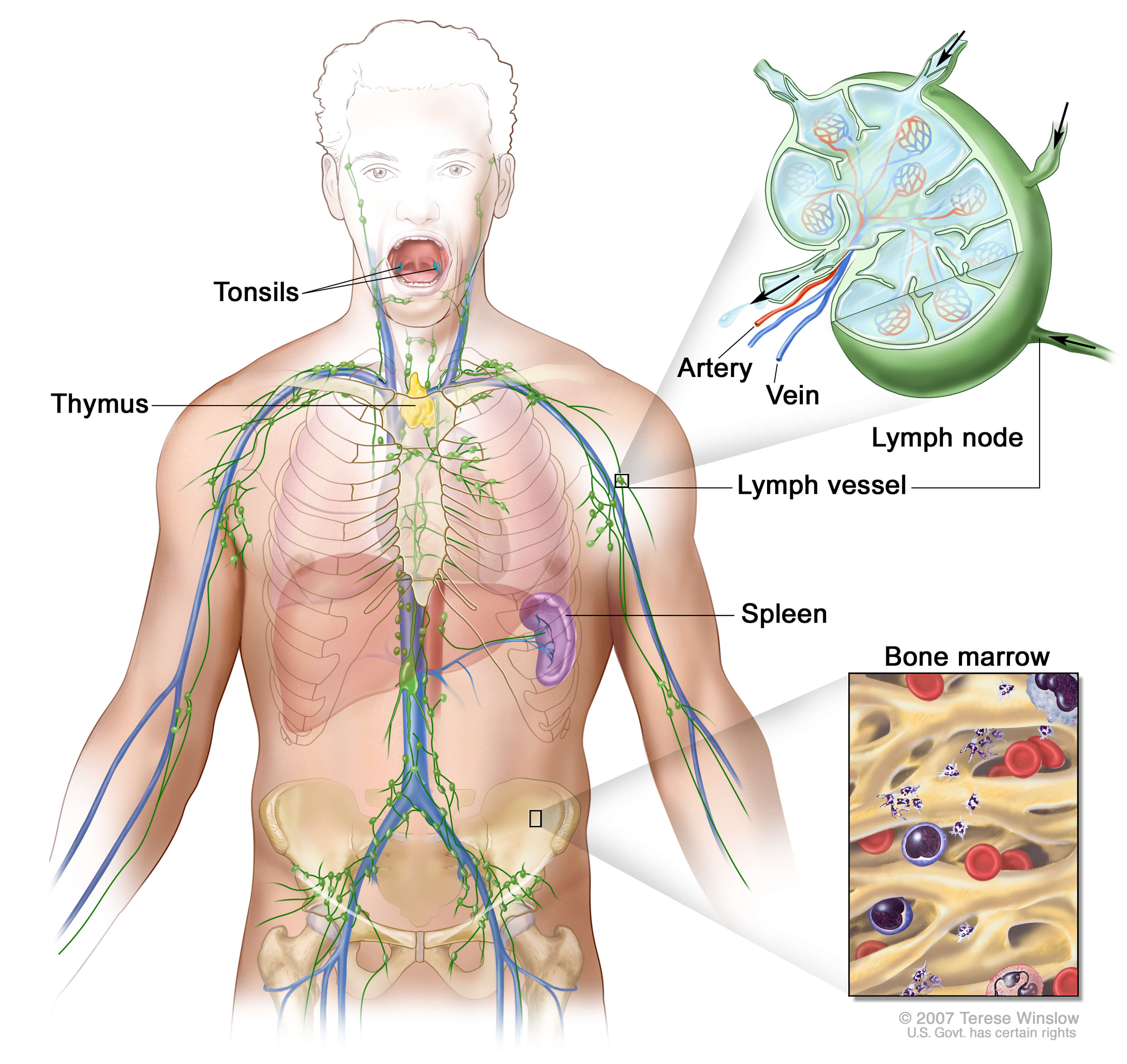 including lymph nodes tonsils thymus spleen and bone marrow