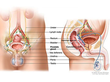 Anatomy of the male reproductive and urinary systems showing the prostate, testicles, bladder, and other organs.