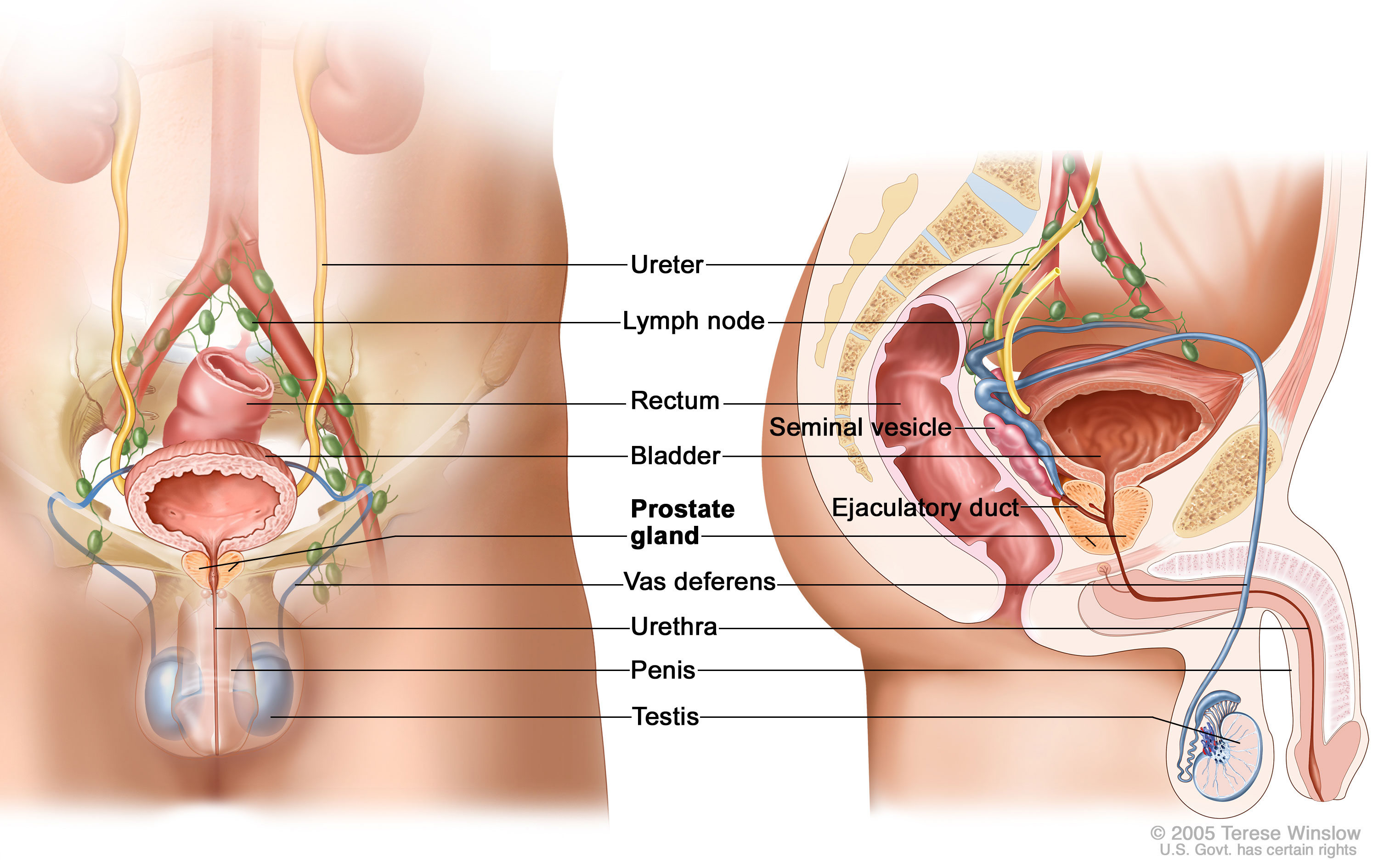 465 0 Testes Definition Testes Are The Glands In The Male Body That