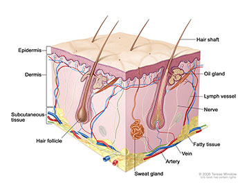 Anatomy of the skin, showing the epidermis, dermis, and subcutaneous tissue.