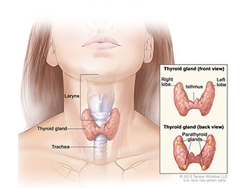 The thyroid gland lies at the base of the throat near the trachea. It is shaped like a butterfly, with the right lobe and left lobe connected by a thin piece of tissue called the isthmus. The parathyroid glands are four pea-sized organs found in the neck near the thyroid. The thyroid and parathyroid glands make hormones.