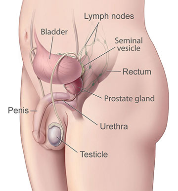 Illustration of a normal prostate