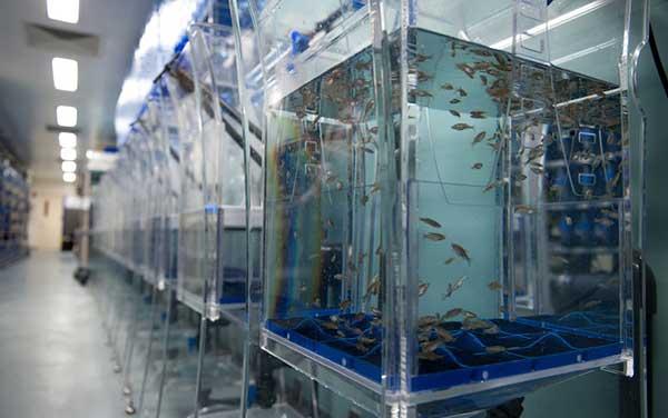 Tracking Cancer S Origins In Zebrafish National Cancer
