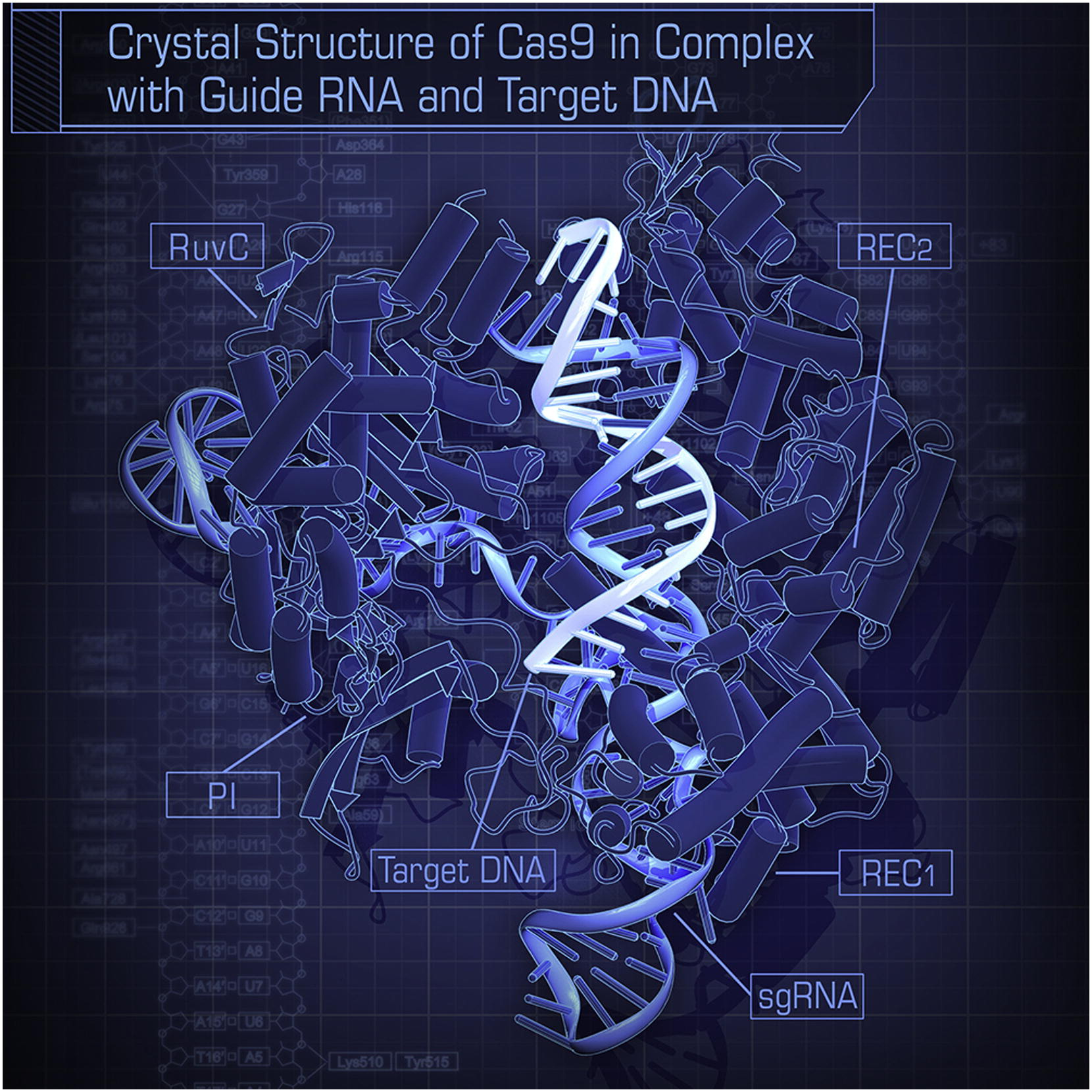 Crystal structure of Cas9 in complex with guide RNA and target DNA.