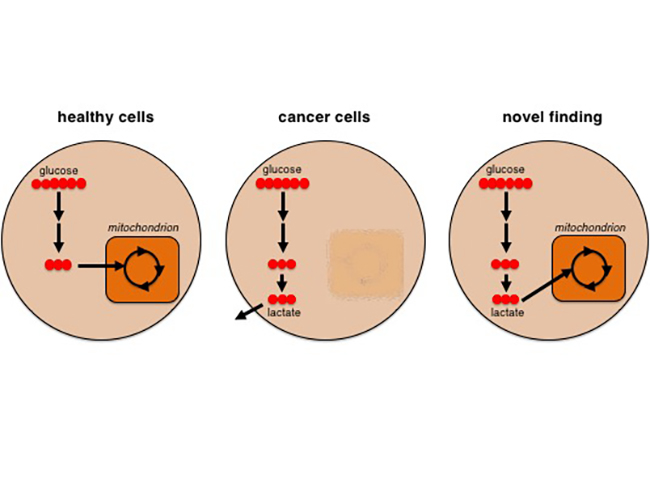 Another cancer cell energy source national cancer institute enlarge ccuart Images