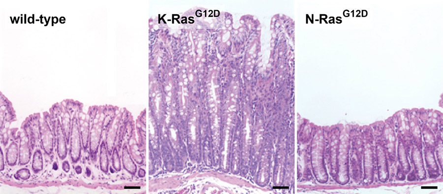 Effect of RAS mutations on colonic homeostasis in mice