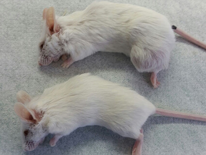 Two mice, one with a larger tumor and one with no evidence of tumor.
