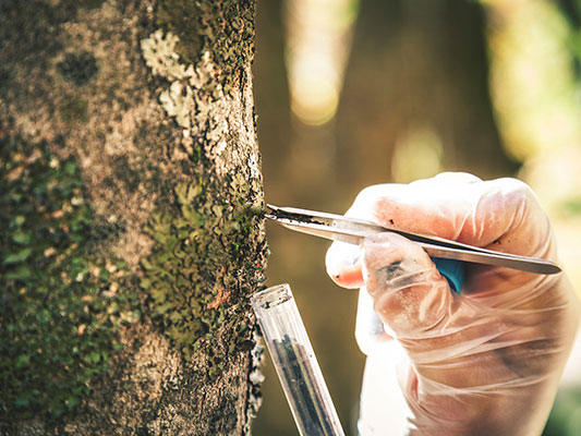 Photo of researcher sampling tree bark.