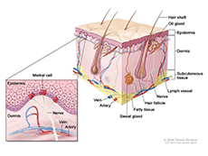 Anatomy of the skin with Merkel cells; drawing shows normal skin anatomy, including the epidermis, dermis, hair follicles, sweat glands, hair shafts, veins, arteries, fatty tissue, nerves, lymph vessels, oil glands, and subcutaneous tissue. The pullout shows a close-up of the epidermis with Merkel cells above the dermis with a vein and artery. Nerves are connected to Merkel cells.