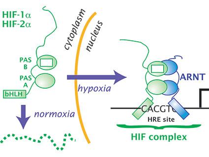 Diagram of HIF cycle