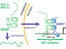 Diagram of HIF cycle