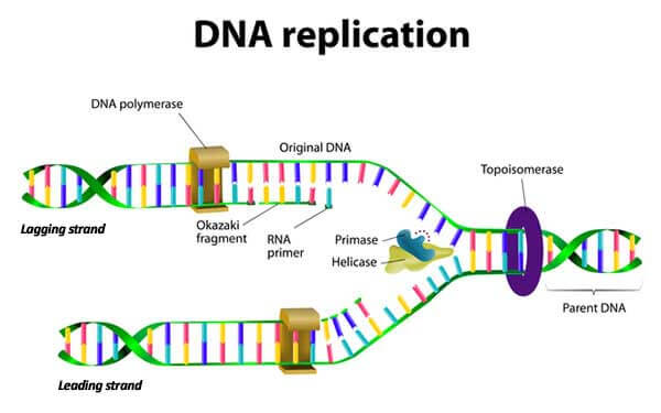 DNA replication graphic