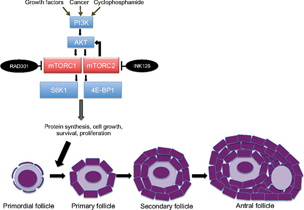 mTOR proteins play an important role in signaling pathway in ovarian follicles that stimulates dormant primordial follicles to transition to more mature follicles. Credit: Proceedings of the National Academy of Sciences, pp. 3186–3191, doi: 10.1073/pnas.1617233114