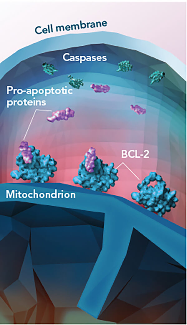 Illustration demonstrating how Venetoclax blocks the action of BCL-2, a protein that prevents cell death and is often overexpressed in CLL cells.