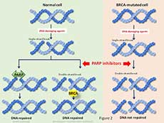 Image showing how blocking PARP proteins in cells with BRCA mutations leads to cell death.