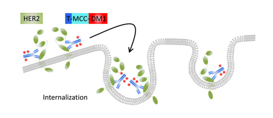 An illustration showing how T-DM1 works to kill cancer cells