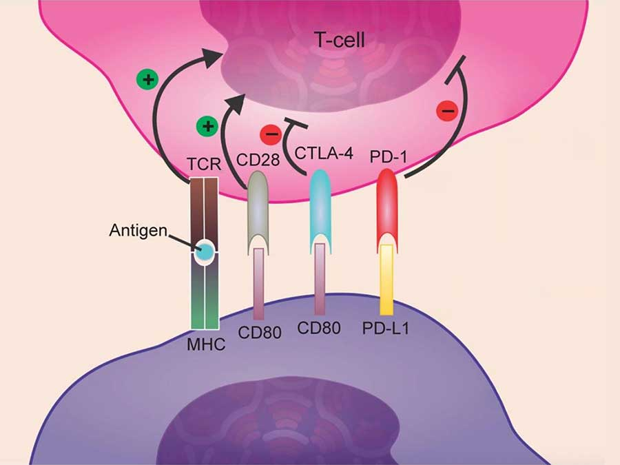 An illustration of immune checkpoint proteins on cancer cells and T cells.