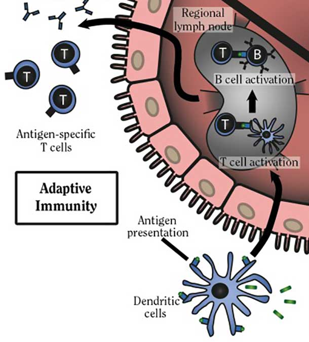 Diagram depicting dendritic cell activity.
