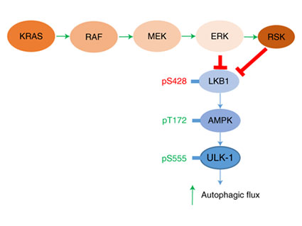 A diagram of the MAPK signaling pathway.