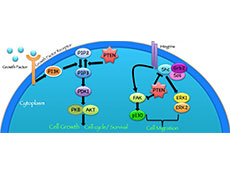 Cell signaling pathway diagram showing the PTEN protein's role in suppressing tumors.