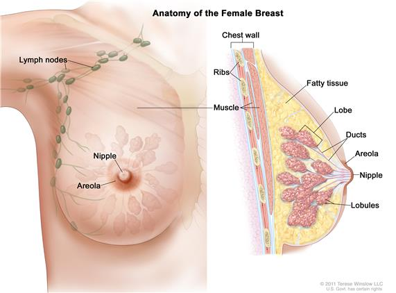 Drawing of female breast anatomy showing  the lymph nodes, nipple, areola, chest wall, ribs, muscle, fatty tissue, lobe, ducts, and lobules.