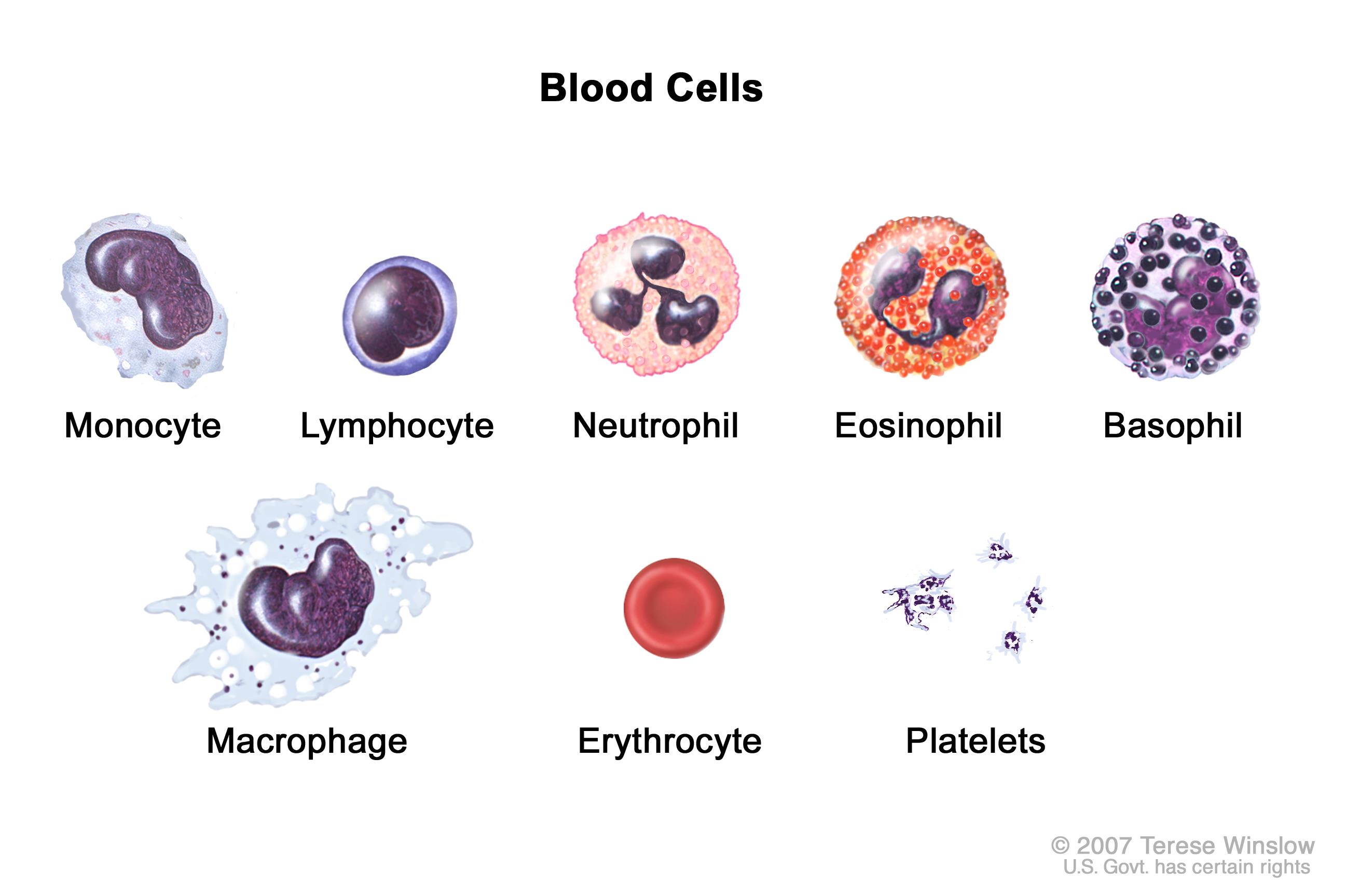 Blood cells; drawing shows six types of white blood cells (monocytes, lymphocytes, neutrophils, eosinophils, basophils, and macrophages), a red blood cell (erythrocyte), and platelets.