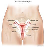 Anatomy of the female reproductive system; drawing shows the uterus, myometrium (muscular outer layer of the uterus), endometrium (inner lining of the uterus), ovaries, fallopian tubes, cervix, and vagina.