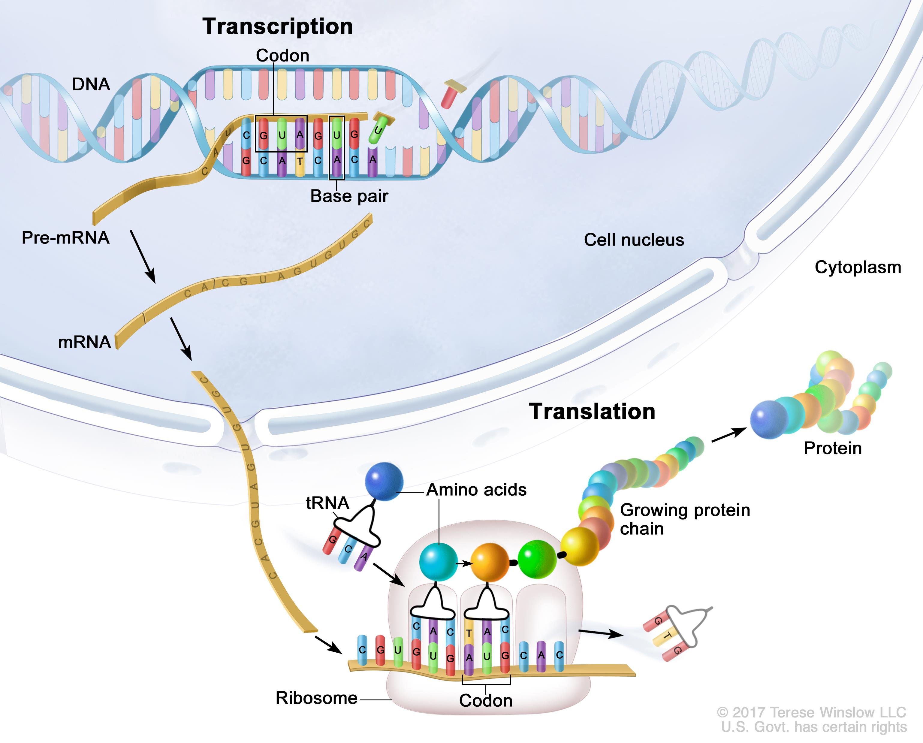 Transcription and translation; the top part of the drawing shows transcription occurring in the nucleus of a cell: a piece of DNA that codes for a specific gene is copied into mRNA; bases in the copied DNA, adenine (A), cytosine (C), guanine (G), and thymine (T), form specific pairs with the bases in the mRNA, except adenine (A) in the DNA pairs with uracil (U) in the mRNA (also shown is a sequence of 3 bases called a codon in the mRNA); the mRNA then carries the genetic information from the DNA to the cytoplasm. The bottom part of the drawing shows translation occurring in the cytoplasm of a cell: the mRNA attaches to and passes through the ribosome; tRNA carries an amino acid to the ribosome, where it binds to a matching codon sequence in the mRNA; the amino acid joins with the other amino acids to form a growing protein chain; the completed protein is then released from the ribosome.