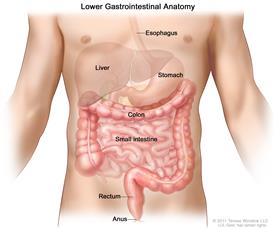 Gastrointestinal (digestive) system anatomy; shows esophagus, liver, stomach, colon, small intestine, rectum, and anus.