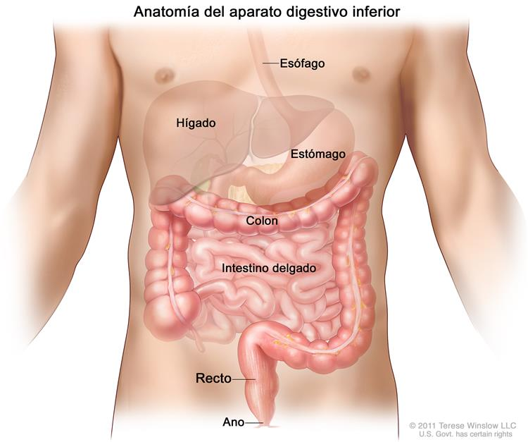 Definición de colon - Diccionario de cáncer - National Cancer Institute
