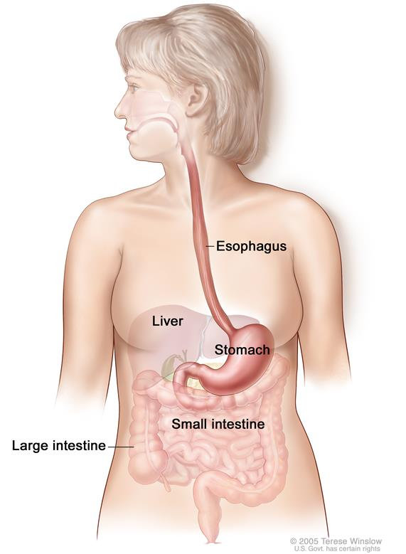 Gastrointestinal (digestive) system anatomy; shows esophagus, liver, stomach, large intestine, and small intestine.
