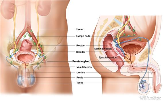 Anatomy of the male reproductive and urinary systems