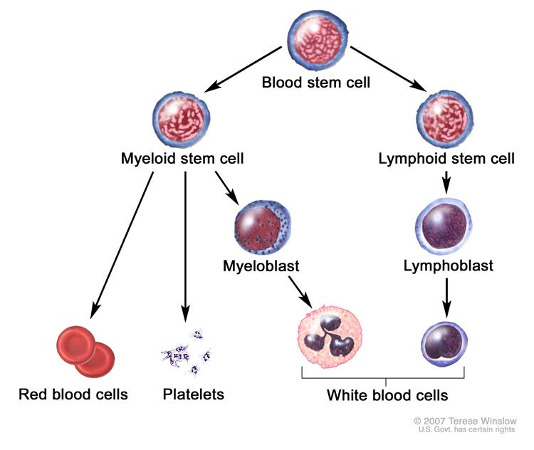 Definition of blood stem cell nci dictionary of cancer terms enlarge blood cell development ccuart Gallery