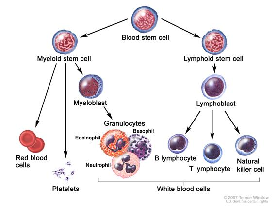 Blood cell development; drawing shows the steps a blood stem cell goes through to become a red blood cell, platelet, or white blood cell. A myeloid stem cell becomes a red blood cell, a platelet, or a myeloblast, which then becomes a granulocyte (the types of granulocytes are eosinophils, basophils, and neutrophils). A lymphoid stem cell becomes a lymphoblast and then becomes a B-lymphocyte, T-lymphocyte, or natural killer cell.