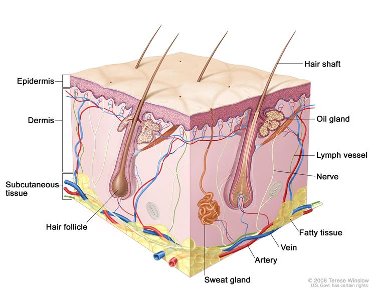 Definition of hair follicle - NCI Dictionary of Cancer Terms ...