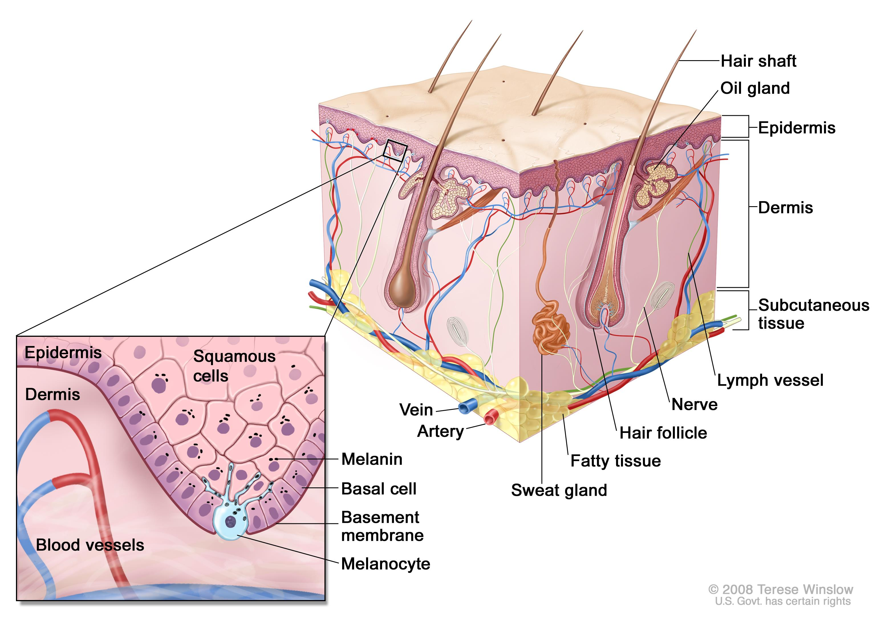 Schematic representation of normal skin; drawing shows normal skin anatomy, including the epidermis, dermis, hair follicles, sweat glands, hair shafts, veins, arteries, fatty tissue, nerves, lymph vessels, oil glands, and subcutaneous tissue. The pullout shows a close-up of the squamous cell and basal cell layers of the epidermis, the basement membrane in between the epidermis and dermis, and the dermis with blood vessels. Melanin is shown in the cells. A melanocyte is shown in the layer of basal cells at the deepest part of the epidermis.
