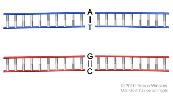 DNA base pair; drawing shows double-stranded DNA with bonds between two pairs of  nitrogen-containing bases [adenine (A) and thymine (T), and cytosine (C) and guanine (G)].