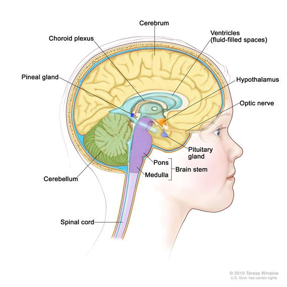 Drawing of the inside of the brain showing ventricles (fluid-filled spaces), choroid plexus, hypothalamus, pineal gland, pituitary gland, optic nerve, brain stem, cerebellum, cerebrum, medulla, pons, and spinal cord.