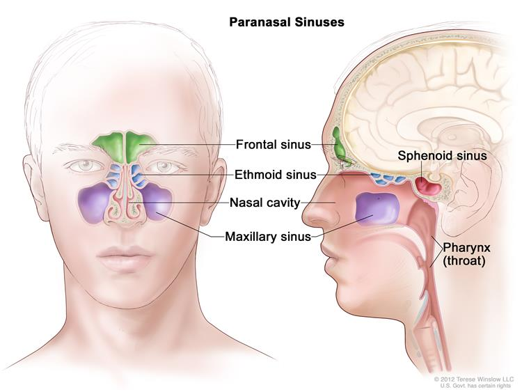 Definition Of Paranasal Sinus Nci Dictionary Of Cancer Terms