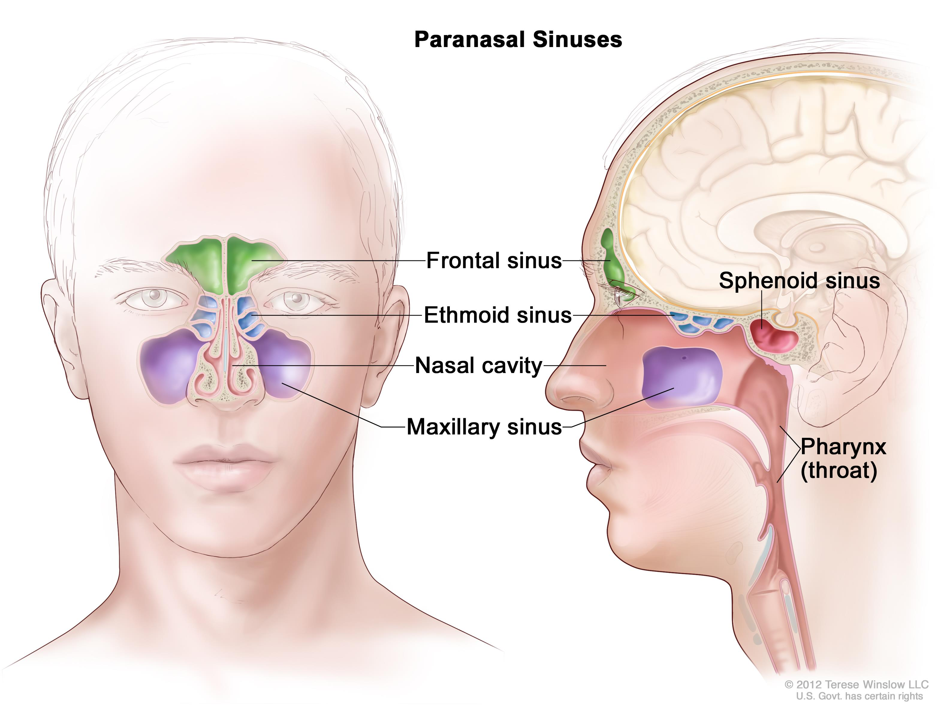 Anatomy of the paranasal sinuses (spaces between the bones around the ...