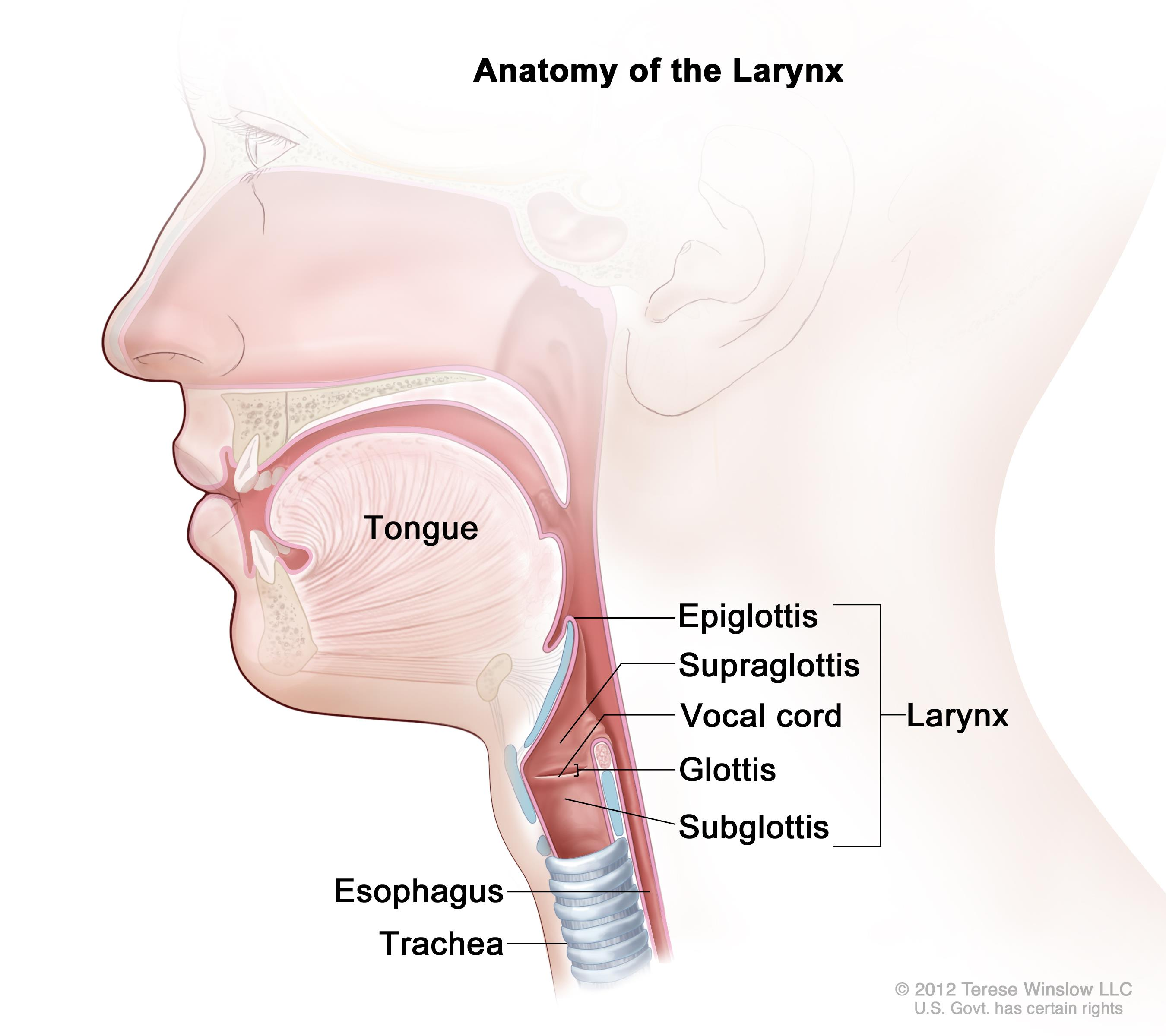Anatomy of the larynx; drawing shows the epiglottis, supraglottis, glottis, subglottis, and vocal cords. Also shown are the tongue, trachea, and esophagus.