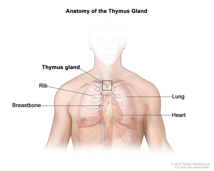 Definition Of Thymus Nci Dictionary Of Cancer Terms National