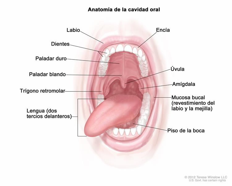 Definición de mucosa yugal - Diccionario de cáncer - National Cancer ...