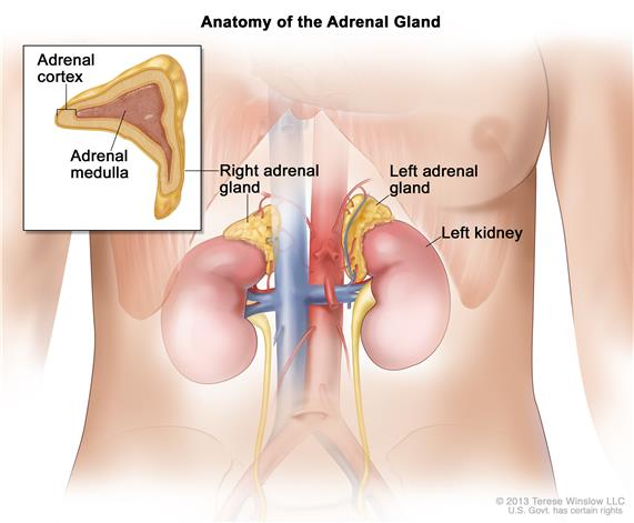 Definition Of Adrenal Medulla Nci Dictionary Of Cancer Terms